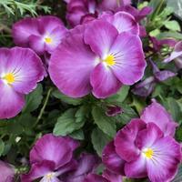 華やかなパープル系の花々 - みちくさ 摘み草 語りぐさ