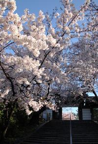 大阪藤井寺市道明寺天満宮桜 - 魅せられて大和路