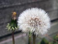 タンポポの綿毛 - しらこばとWeblog