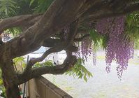 古木の藤 - トムジーのつぶやき3