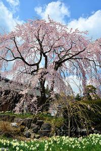 咲き誇る桜の下母の背中 - Miwaの優しく楽しく☆
