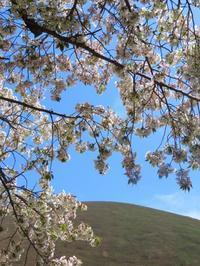 さくらの里の桜 - はなひかり2