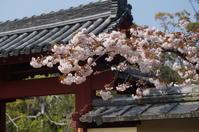 東大寺勧進所の里桜 - たんぶーらんの戯言