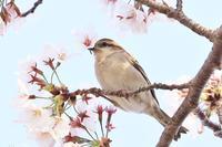 桜とニュウナイスズメ♪ - happy-cafe*vol.2