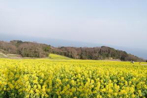 菜の花 -