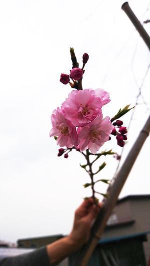 2019 4月 SAKURA 21 - 【日直田酒】 - 西田酒造店blog -