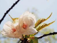 春過ぎて…。 - のーんびり hachisu 日記