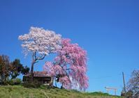 紅白夫婦桜 - Patrappi