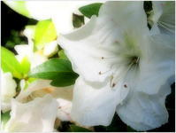 White  Tsutsuji - caetla