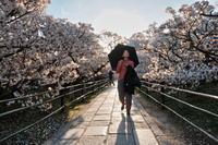 桜2019仁和寺 - 写真部