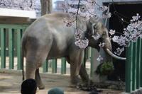 ゾウ舎の近くも桜が満開 - 山とPANDA