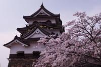 彦根城と桜② - とりあえず撮ってみました