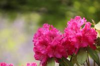 シャクナゲも咲いて~ - とり頭ばーばんの七転び八起き