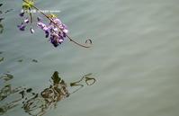 山藤の咲く池 - 花々の記憶