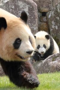 パンダの女の子、サタデー彩ちゃん(その2、ママの彩絞め) - 旅プラスの日記