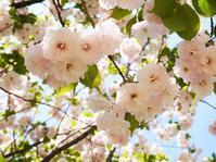 八重桜、見納め - park diary