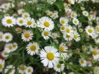 源平小菊 - だんご虫の花