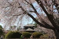 左近の桜@偕楽園 - 気ままに☆ひ撮り旅