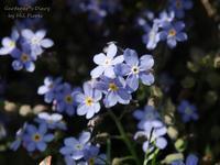 Son las flores pequeñas de mi jardín 〜 ゴールデンウィーク中のお知らせ - Gardener*s Diary