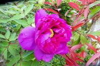 我が家の花ボタン咲く - 風の便り