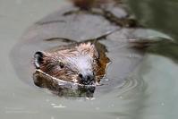 2019.3.31 宇都宮動物園☆アメリカビーバー【American Beaver】 - 青空に浮かぶ月を眺めながら