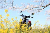 桜とC125 - フェイズと写真と時々・・・!