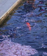 🌸花筏(里桜)🌸 - 蓮華寺池の隣5