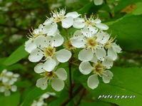 カマツカ(鎌柄)の花が満開になってきました。 - デジカメ散歩悠々