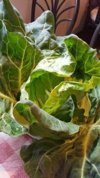 自然農法でキャベツ初収穫🎊 - 鎌倉fonteの日常