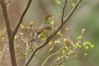 大きな声で囀るソウシチョウ - 近隣の野鳥を探して