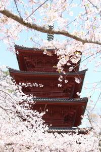 お寺さんの桜☆超満開♪青空とともに。。。再び訪れる2 - Let's Enjoy Everyday!