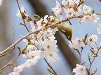2019年4月21日岩出山の森~定番の桜絡み~ - htt's fieldⅡ