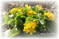 春の花とチャコと小桃 - White Love