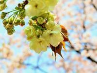 まだまだフワモコ…(´艸`*) - のーんびり hachisu 日記