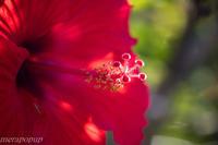 徳之島の花 - The blog of meraki