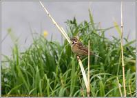 枯葦に止まるホオアカ - 野鳥の素顔 <野鳥と日々の出来事>