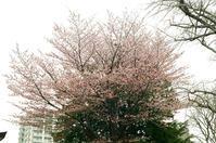 大照寺の花曇り - 照片画廊