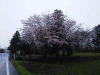 種まきが始まりまる頃は、いつも桜が咲いている。 - 百笑通信 ブログ版