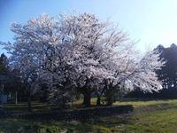 種まきの二日目頃は、満開の桜です。桜と種まきの関係は、いつもだいたい同じ。 - 百笑通信 ブログ版