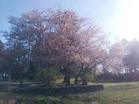 桜の花びらが散り始めると、昼間の気温は安定して温かいね。 - 百笑通信 ブログ版