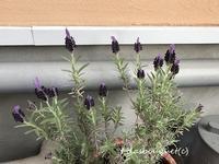咲いてくれたラベンダー♪ - Lilasbouquet+HOME&F