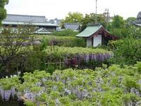 亀戸天神の藤の花は満開♪境内の3つの橋には意味があった♪亀戸満喫散歩♪ - ルソイの半バックパッカー旅