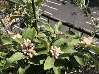 レモンが花盛りで 次はオリーブの番です - 青山ぱせり日記