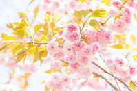 春のお花いっぱい・日比谷花壇大船フラワーセンター - エーデルワイスPhoto