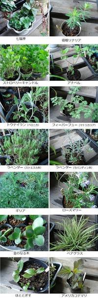 フリマ苗のお手入れ - natural garden~ shueの庭いじりと日々の覚書き