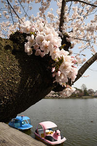 高松の池・2019桜 - ちわりくんのありふれた毎日II