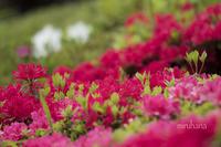 ツツジとサツキ*旧古河庭園。 - MIRU'S PHOTO