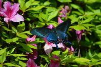 ミヤマカラスアゲハ他4月27日高知市にて - 超蝶