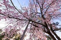 桜咲く京都2019縣神社の木の花桜 - 花景色-K.W.C. PhotoBlog