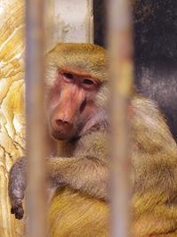 マントヒヒの女の子たち[徳山動物園] - a diary of primates